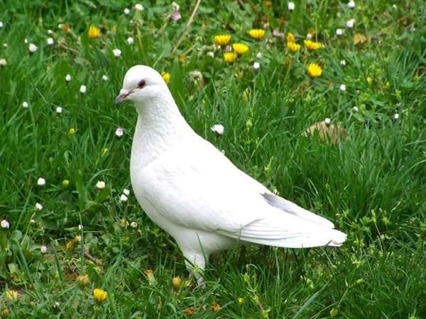 Mơ thấy chim bồ câu đánh con gì?