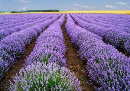 Mơ thấy hoa màu tím điềm báo gì đánh lô đề số nào?